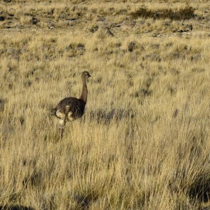 Darwin's rhea or nandu